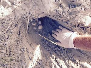 Loggerhead Turtle Nest