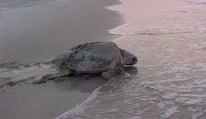 Female returning after Nesting